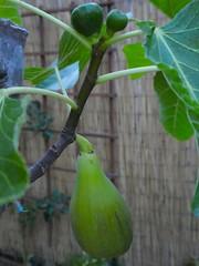 One Ripe (outdoorPDK) Tags: figs