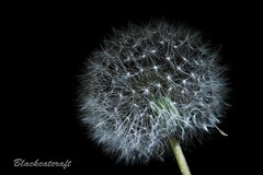 Project 52/30 Photographers Choice (blackcatcraft) Tags: dandelion weed macro small fluffy seeds