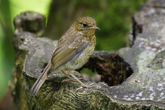 Young Robin (Hugobian) Tags: young robin fledged chick bird birds nature wildlife british pentax k1 rspb leighton moss