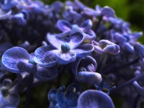 これも紫陽花2