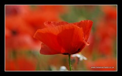 Poppy (Melanie Chadd Photography) Tags: red flower bokeh poppy poppyfield worcestershirewildlifetrust olympuse520