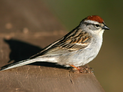 Chipping Sparrow 2-20100615