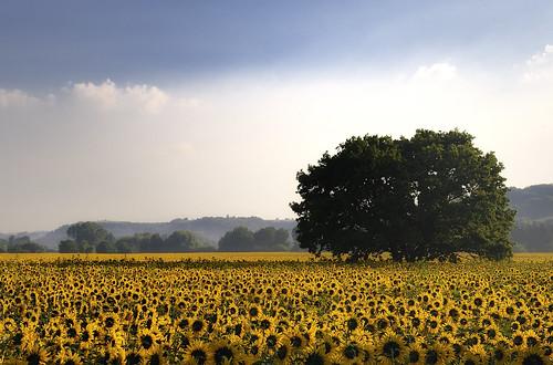 [フリー画像] 花・植物, キク科, 向日葵・ヒマワリ, 花畑, 樹木, イタリア, 201007031900