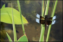 Widow Skimmer (juvenile male) (Lyle58) Tags: summer white black green nature water leaves fauna insect outdoors wings pond flora dragonfly stems grasses widowskimmer mortonarboretum lisleillinois