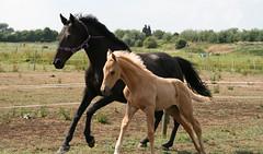 Mum And Daughter (Enfieldlady) Tags: horse canon legs tamron equestrian animalplanet tails mane motheranddaughter hoofs loh babyhorse foal hooves paddocks 4legs eos400d tamronaf18250mm