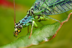 Green Lacewing Portrait 2 (steb1) Tags: macro nature closeup insect neuroptera greenlacewing chrysopidae chrysopaperla