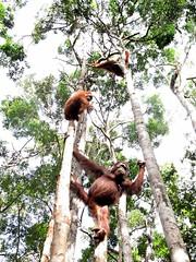 Orangutans in Tanjung Puting National Park
