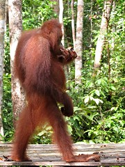 Orangutan Standing in Tanjung Puting National Park
