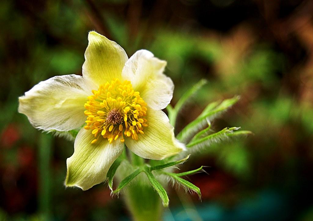 Beautiful pulsatilla flower