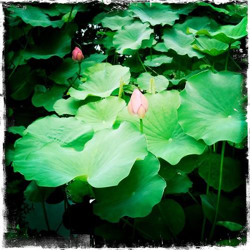Lotus buds