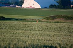 Chevreuil (David Cazareth) Tags: pentax terre agriculture lignes chevreuil k20 2010 plaine mas crales cultiv