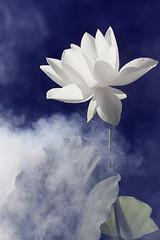 Lotus Flower - IMG_0198-1 (Bahman Farzad) Tags: sun flower macro yoga peace lotus relaxing peaceful illusion meditation therapy illusions lotusflower lotuspetal lotuspetals lotusflowerpetals lotusflowerpetal