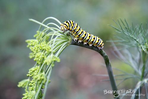 177-caterpillar