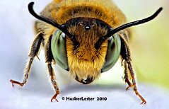 """Leafcutter bee portrait"" (huskerlester) Tags: leafcutterbee apidae macroextreme supershot specanimal macrolife beautifulmonsters thebestmacrophotos nonstingingbee"