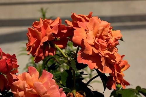 07-06-2010_orange_roses_rs