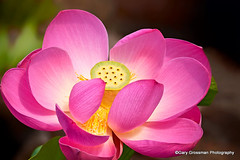 Sacred Lotus (Gary Grossman) Tags: oregon garden lotus blossom watergarden sacred naturesfinest lotusblossom sacredlotus nelumbonucifera thegalaxy sacredflower coth5