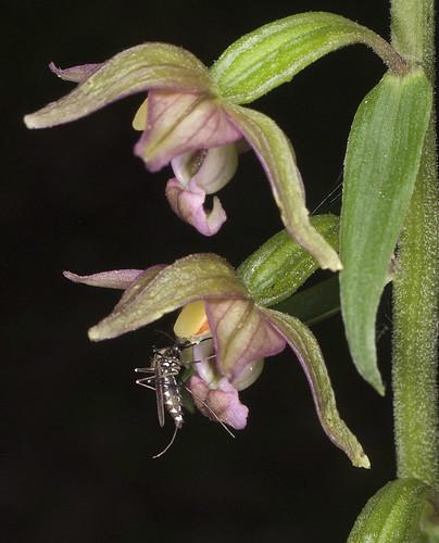 Epipactis, abreuvoirs à insectes 4771302689_2b300fcb17
