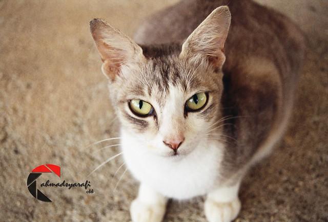 Felis Domesticus - Cat