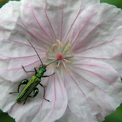 Thick Legged Flower Beetle (Oedemera nobilis) Male (Pipsissiwa) Tags: uk flower macro male garden insect wildlife beetle thick legged invertebrate arthropod coleoptera nobilis minibeast oedemera