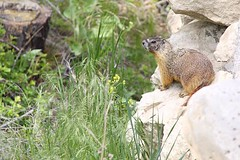 Marmot 2 (LongInt57) Tags: brown mountain mountains green grass animal animals rock mammal rodent rocks grasses marmot mammals rodents marmots