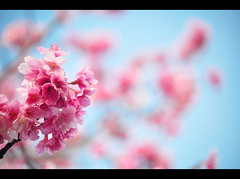 The Flowers.... (fe.pacheco) Tags: pink blue sky tree primavera azul cherry rosa cu inverno rvore galho the cerejeira