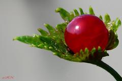 Johannisbeerwein (elektro_heiko) Tags: garten johannisbeere weinblatt neustrelitz