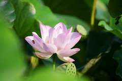 Lotus (ddsnet) Tags: plants lotus sony aquatic aquaticplants 900          plants  aquatic 900