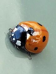 Ladybug (Sven Paas) Tags: ladybug marienkfer coccinellidae ladibird