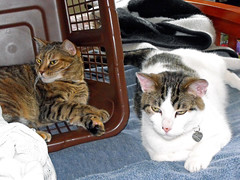 Celebrating Independence (Tabbymom Jen) Tags: cats cat bed basket tabby kitty victor kitties nina independenceday torbie