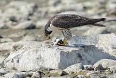 Peregrine Falcon - Faucon p?erin - Halc? peregrino by elgalopino