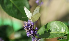 Großer Kohlweißling / Large White (6) (Ellenore56) Tags: life light summer white inspiration color colour nature animal butterfly garden insect licht loop sommer sony natur lavender july philosophy cycle physics environment imagination mathematics juli alpha economic creature magical farbe insekt garten chaostheory leben tier ecological umwelt lavendel largewhite butterflyeffect pierisbrassicae lebewesen disambiguation turbulenzen kohlweisling schmetterlingseffekt chaostheorie groserkohlweisling dslra350 sonyalphadslra350 philosofi ellenore56 13072010 dynamicl