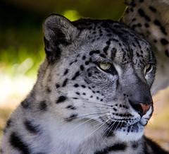 Snow  Leopard (Photography by Sharon Curran) Tags: feline wildanimal bigcats snowleopard wildlifeheritagefoundation whf ranschan endandgered