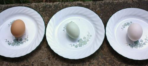 Egg Comparison 1