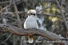 DSC_1249_edited-1 (kathiemt1) Tags: eucalypt gumtree kookaburra day193 australianbird nikond90