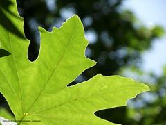 89.4.23 Jaghargh 01 (Nasser Torabzade) Tags: green nature closeup leaf سبز طبیعت برگ نمایبسته