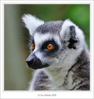 Golden Eyes! - Ring-tailed Lemur