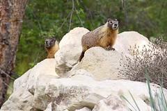 Marmot 8 (LongInt57) Tags: trees brown mountain mountains tree green animal animals rock mammal grey rodent rocks gray marmot mammals rodents marmots