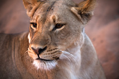 20090905 Chobe 197 (blogmulo) Tags: africa park fauna canon wildlife lion safari national botswana chobe f28 leona canon70200 canon450d blogmulo