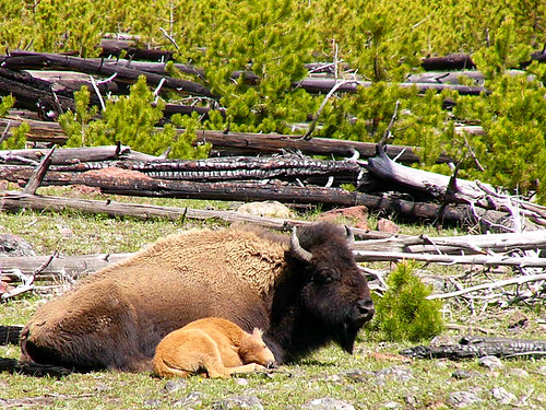 Yellowstone National Park 2005 - Sleepy mother and baby buffalo
