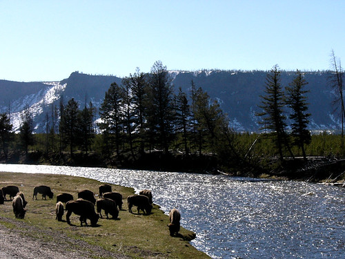 Yellowstone National Park 2006 - Buffalo herd by the water