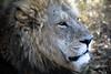 20090901 Okavango - Moremi 078 (blogmulo) Tags: africa travel fauna cat canon king wildlife lion reserve delta safari viajes leon rey botswana 2009 f28 okavango canon70200 canon450d blogmulo mremi