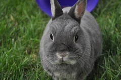 the name is Max, Max Bond...any questions?? (sensitivebunnyguy) Tags: max cute bunnies bella lopear albus netherlanddwarf cutebunnies cuterabbits cuterabbitphotos cutebunnyphotos