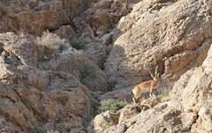 Chamois in the mountains Firoozkooh (Afshin sorkhabi) Tags: