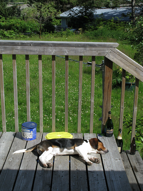beagle sleeping on my porch, Kasaan, Alaska