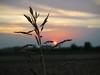Spiga di grano al tramonto (ReporterMene) Tags: flowers sunset sky italy sun canon landscape tramonto paesaggio grano romagna g11 cesenatico cagnon tranquillità spigadigrano