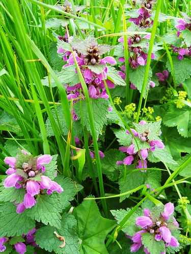 Spotted Red Dead Nettle