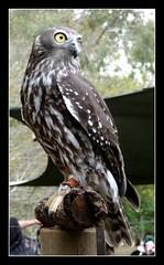 Barking Owl (NettyA) Tags: bird nature australia brisbane raptor owl queensland lonepine birdsofprey hawkowl strigiformes barkingowl strigidae ninoxconnivens figtreepocket wildlifeofaustralia