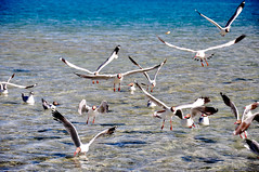 Sea gulls (h0lydevil) Tags: travel india lake birds seagull ladakh pangong brownheadedgull gettyimagesindiaq4