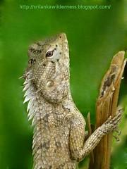 Oriental Garden Lizard(Calotes versicolor)