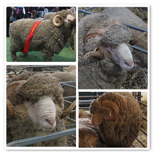 Merino sheep at ASW, Bendigo 2010